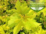 Physocarpus opulifolius 'Luteus', Пухироплідник калинолистий 'Лютеус',C2 - горщик 2л, фото 2