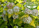 Physocarpus opulifolius 'Luteus', Пухироплідник калинолистий 'Лютеус',C2 - горщик 2л, фото 3