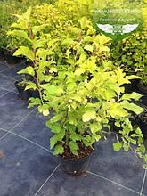 Physocarpus opulifolius 'Luteus', Пухироплідник калинолистий 'Лютеус',C5 - горщик 5л