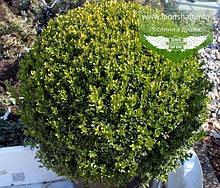 Buxus sempervirens, Самшит вічнозелений,C5 - горщик 5л