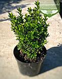 Buxus sempervirens, Самшит вічнозелений,C5 - горщик 5л, фото 2