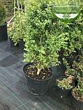 Buxus sempervirens, Самшит вічнозелений,C5 - горщик 5л, фото 3