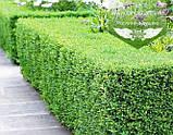 Buxus sempervirens, Самшит вічнозелений,C5 - горщик 5л, фото 5