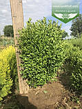 Buxus sempervirens, Самшит вічнозелений,C5 - горщик 5л, фото 6