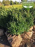 Buxus sempervirens, Самшит вічнозелений,C5 - горщик 5л, фото 7