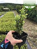 Buxus sempervirens, Самшит вічнозелений,C5 - горщик 5л, фото 8