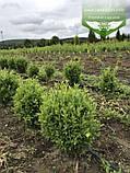 Buxus sempervirens, Самшит вічнозелений,C5 - горщик 5л, фото 9
