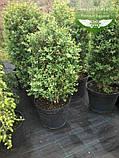 Buxus sempervirens, Самшит вічнозелений,C5 - горщик 5л, фото 10