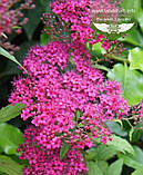 Spiraea japonica 'Anthony Waterer', Спірея японська 'Антоні Ватерер',C2 - горщик 2л, фото 2