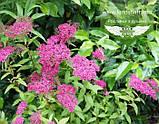 Spiraea japonica 'Anthony Waterer', Спірея японська 'Антоні Ватерер',C2 - горщик 2л, фото 3
