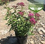 Spiraea japonica 'Anthony Waterer', Спірея японська 'Антоні Ватерер',C2 - горщик 2л, фото 4
