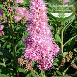 Spiraea x billardii 'Triumphans', Спірея Білларда 'Тріумфанс',C2 - горщик 2л, фото 2