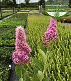 Spiraea x billardii 'Triumphans', Спірея Білларда 'Тріумфанс',C2 - горщик 2л, фото 5