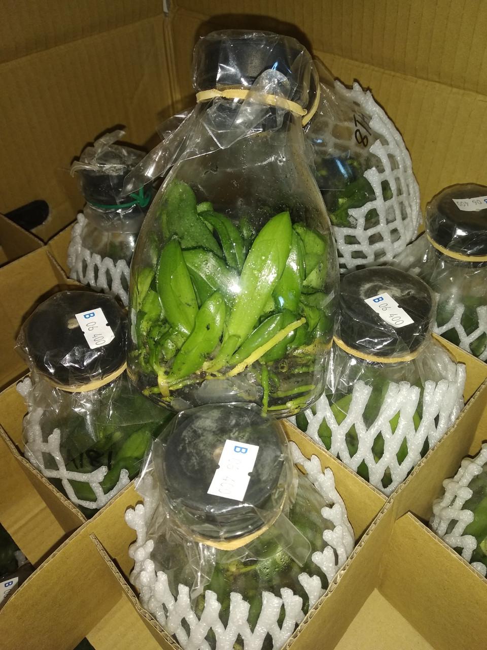 УЦЕНКА! Фласка орхидей (около 15 сеянцев), сорт сюрприз