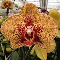 """Орхидея подросток Charmer, горшок 1.7"""" без цветов"""