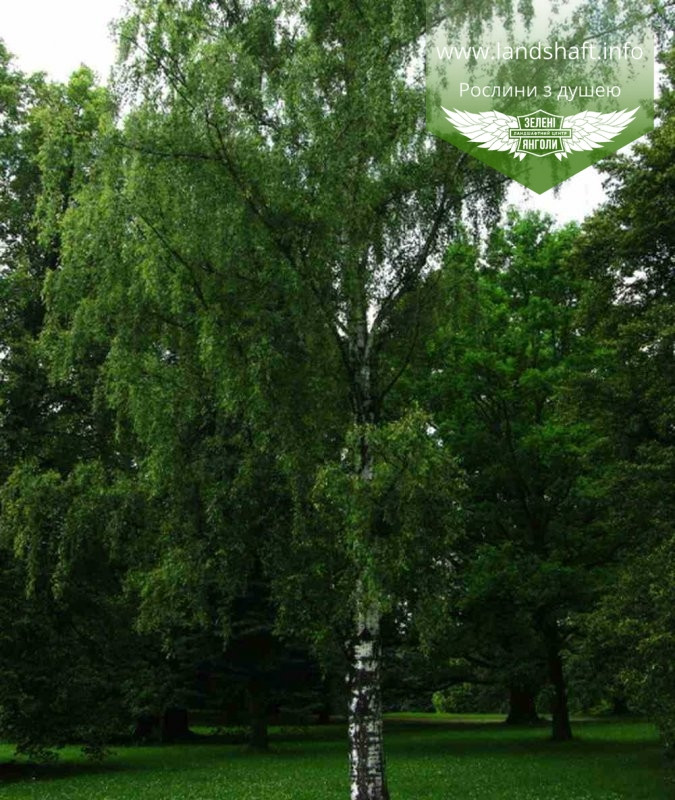 Betula pendula, Береза повисла,WRB - ком/сітка,250-300см,TG4-6