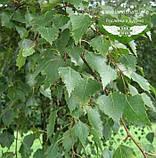 Betula pendula, Береза повисла,WRB - ком/сітка,250-300см,TG4-6, фото 2