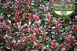 Berberis thunbergii 'Atropurpurea Nana', Барбарис Тунберга 'Атропурпуреа Нана',C2 - горщик 2л, фото 4