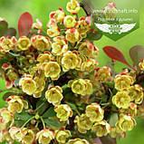Berberis thunbergii 'Atropurpurea Nana', Барбарис Тунберга 'Атропурпуреа Нана',C2 - горщик 2л, фото 5