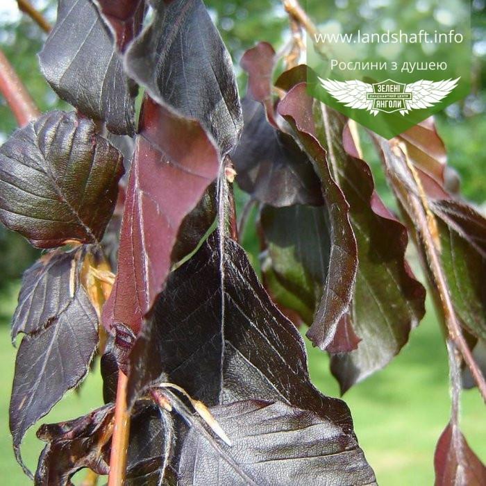 Fagus sylvatica 'Purpurea Pendula', Бук європейський 'Пурпуреа Пендула',180-200см,C30-C35 - горщик