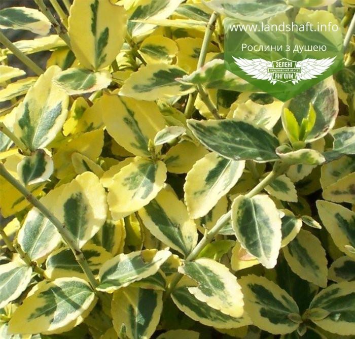 Euonymus fortunei 'Emerald 'n Gold', Бересклет Форчуна 'Емералд Енд Голд',C2 - горщик 2л,35-45см