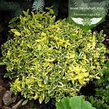Euonymus fortunei 'Emerald 'n Gold', Бересклет Форчуна 'Емералд Енд Голд',C2 - горщик 2л,35-45см, фото 2