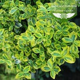 Euonymus fortunei 'Emerald 'n Gold', Бересклет Форчуна 'Емералд Енд Голд',C2 - горщик 2л,35-45см, фото 3
