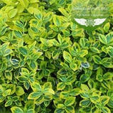 Euonymus fortunei 'Emerald 'n Gold', Бересклет Форчуна 'Емералд Енд Голд',C2 - горщик 2л,35-45см, фото 4