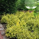 Euonymus fortunei 'Emerald 'n Gold', Бересклет Форчуна 'Емералд Енд Голд',C2 - горщик 2л,35-45см, фото 5