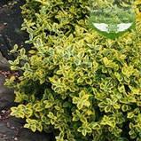Euonymus fortunei 'Emerald 'n Gold', Бересклет Форчуна 'Емералд Енд Голд',C2 - горщик 2л,35-45см, фото 6