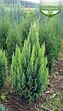 Chamaecyparis lawsoniana 'Alumigold', Кипарисовик Лавсона 'Алюміголд',C2 - горщик 2л,40-60см, фото 2