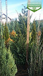 Chamaecyparis lawsoniana 'Alumigold', Кипарисовик Лавсона 'Алюміголд',C2 - горщик 2л,40-60см, фото 4