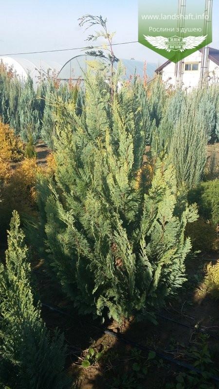 Chamaecyparis lawsoniana 'Alumigold', Кипарисовика Лавсона 'Алюміголд',Кореневий кому/сітка,300-320см