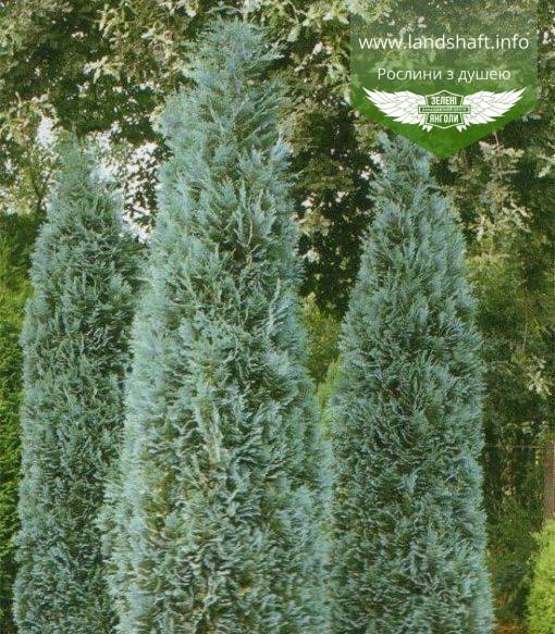 Chamaecyparis lawsoniana 'Columnaris', Кипарисовик Лавсона 'Колумнаріс',WRB - ком/сітка,60-80см