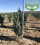 Chamaecyparis lawsoniana 'Columnaris', Кипарисовика Лавсона 'Колумнаріс',120-140см,C25 - горщик 20-25л, фото 6