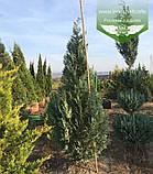 Chamaecyparis lawsoniana 'Columnaris', Кипарисовика Лавсона 'Колумнаріс',120-140см,C25 - горщик 20-25л, фото 7