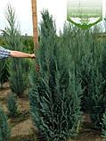 Chamaecyparis lawsoniana 'Columnaris', Кипарисовик Лавсона 'Колумнаріс',WRB - ком/сітка,200-220см, фото 4