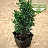 Chamaecyparis lawsoniana 'Ellwoodii', Кипарисовика Лавсона 'Елвуді',P7-Р9 - горщик 9х9х9,10-15см, фото 2