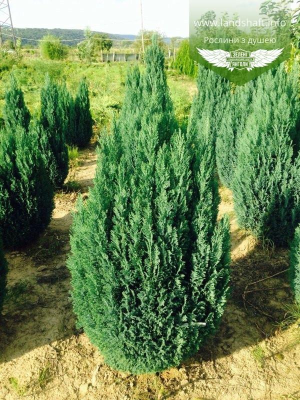 Chamaecyparis lawsoniana 'Ellwoodii', Кипарисовик Лавсона 'Елвуді',Кореневий ком/сітка,80-100см