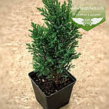 Chamaecyparis lawsoniana 'Ellwoodii', Кипарисовик Лавсона 'Елвуді',WRB - ком/сітка,140-160см, фото 2