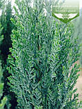 Chamaecyparis lawsoniana 'Ellwoodii', Кипарисовик Лавсона 'Елвуді',WRB - ком/сітка,180-200см, фото 4