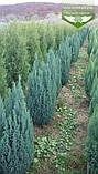 Chamaecyparis lawsoniana 'Ellwoodii', Кипарисовика Лавсона 'Елвуді',Кореневий кому/сітка,200-220см, фото 5
