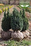 Chamaecyparis lawsoniana 'Ellwoodii', Кипарисовика Лавсона 'Елвуді',Кореневий кому/сітка,200-220см, фото 7
