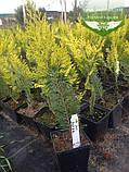 Chamaecyparis lawsoniana 'Ivonne', Кипарисовик Лавсона 'Івонн',P7-Р9 - горщик 9х9х9,10-15см, фото 5