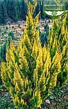 Chamaecyparis lawsoniana 'Ivonne', Кипарисовика Лавсона 'Івонн',WRB - ком/сітка,100-120см, фото 6
