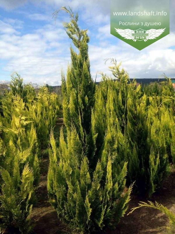 Chamaecyparis lawsoniana 'Ivonne', Кипарисовика Лавсона 'Івонн',Кореневий кому/сітка,200-220см
