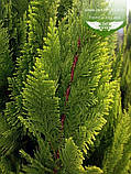 Chamaecyparis lawsoniana 'Ivonne', Кипарисовика Лавсона 'Івонн',Кореневий кому/сітка,200-220см, фото 2