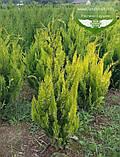 Chamaecyparis lawsoniana 'Ivonne', Кипарисовика Лавсона 'Івонн',Кореневий кому/сітка,200-220см, фото 3