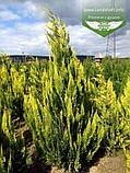 Chamaecyparis lawsoniana 'Ivonne', Кипарисовика Лавсона 'Івонн',Кореневий кому/сітка,200-220см, фото 4