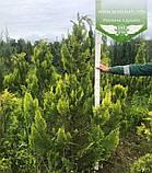 Chamaecyparis lawsoniana 'Ivonne', Кипарисовика Лавсона 'Івонн',Кореневий кому/сітка,200-220см, фото 9